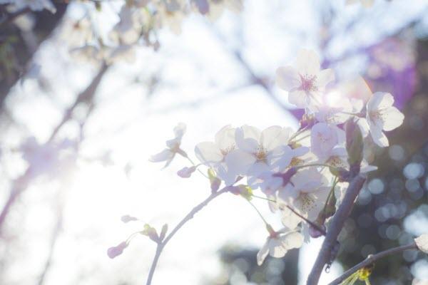 太陽の光を喜ぶ桜